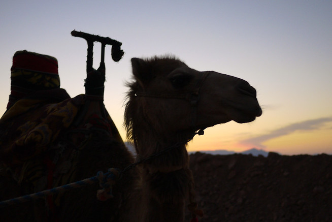Camel profile at sunrise in Wadi Rum, Jordan